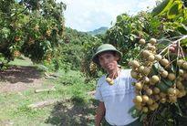 Người Kinh, người Thái Sông Mã thoát nghèo, làm giàu từ cây nhãn