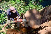 Khởi tố hình sự vụ khai thác gỗ nghiến trái phép tại Tuần Giáo