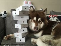 Thiếu gia Trung Quốc mua 8 chiếc iPhone 7 cho chó