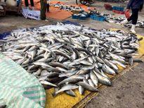 Thủy triều đỏ là nguyên nhân gây chết cá ở Nghi Sơn