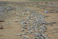 Quảng Nam: Nguyên nhân cá chết hàng loạt ở hồ thủy lợi