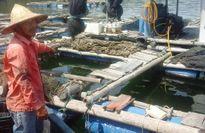 Cá chết bất thường ở Thanh Hóa: Không phải do tảo mà là môi trường?