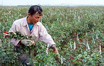 Phát triển nghề trồng hoa, cây cảnh ở Hà Nội