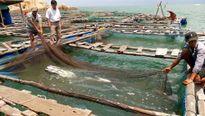 Lập tổ hợp tác phát triển cá lồng