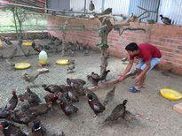 Ông chủ trẻ nuôi chim trĩ đỏ
