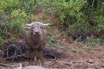 Thợ săn xin thanh lý hợp đồng sau khi bắt được trâu dữ thứ 8