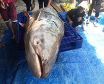 Thực hư tin đồn cá khủng nặng hơn 200kg chữa được bách bệnh