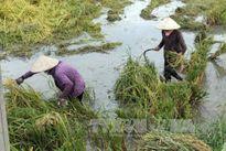 Lúa đổ rạp trong nước, thương lái không mua