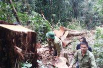 Vụ 30m3 gỗ hương bị khai thác trái phép: Chủ tịch huyện không thể vô can!