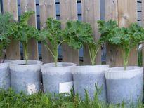 Mách nhỏ cách trồng cải xoăn kale trong thùng xốp