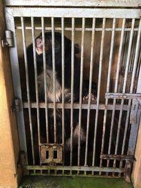 Hai cá thể gấu bị nuôi nhốt cuối cùng được chuyển về Trung tâm cứu hộ