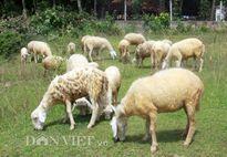 Đàn cừu độc nhất xứ Quảng của cựu sinh viên công nghệ thông tin