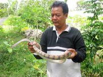 NTM An Giang: Đổi đời từ phong trào nuôi rắn thả vườn