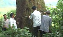 Cây Lim hơn 1.000 tuổi trở thành cây di sản