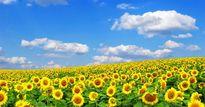 Giới trẻ háo hức với 4 cánh đồng hoa hướng dương tuyệt đẹp