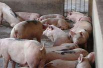Thức ăn chăn nuôi: Cấm sử dụng Cysteamine hay cứ để 'lưỡng tính'?