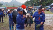 Độc đáo cuộc thi hoa hậu bò sữa ở cao nguyên Mộc Châu
