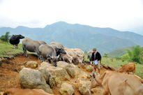 'Triệu phú trâu, bò' thả tiền tỷ trên núi Tê Giác