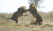 Trận tranh hùng giành lãnh thổ kịch tính của hai vua sư tử