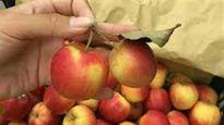 Sự thật về loại táo đá Hà Giang đang bày bán