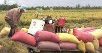 Cấp bách đổi mới chuỗi giá trị lúa gạo