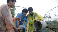 Chăm rau sạch bằng phân hầm cầu