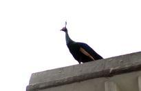 Người Sài Gòn đuổi bắt chim công quý