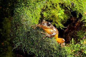 """Kỳ lạ loài ếch tuyệt chủng bỗng """"sống lại"""" sau 130 năm"""