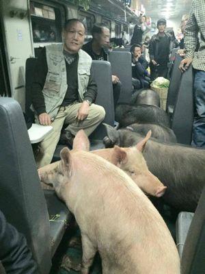 Nông dân Trung Quốc đưa cả đàn lợn lên tàu ra chợ Tết