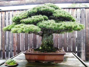 Ngắm những tuyệt tác bonsai của nghệ nhân Nhật Bản