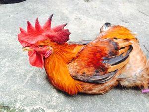 Mẹ chồng suýt ngất khi nhận gà cúng Giao thừa của dâu mới