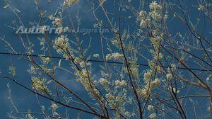 Du xuân Tết Bính Thân: Khám phá rừng hoa anh đào bên biển