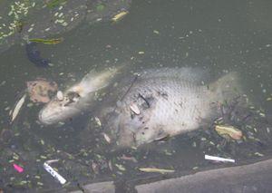 Hà Nội: Cá chết nhiều tại Hồ Gươm sau đêm bắn pháo hoa