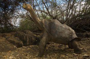Dự án phục hồi gene tham vọng nhất lịch sử: Hồi sinh loài rùa huyền thoại