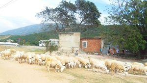 Nông dân Ninh Thuận nhộn nhịp ra đồng vào dịp Tết