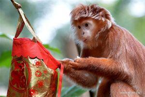 Singapore: Làm phong bao lì xì cho khỉ