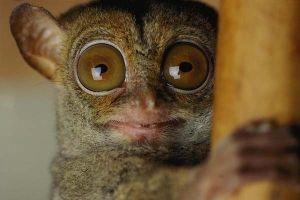 Bí ẩn về loài khỉ có thân hình nhỏ nhất thế giới