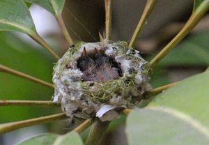 Hành trình một mình vượt cạn nuôi con của chim ruồi