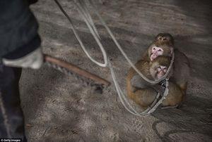 """Những bức hình đầy ám ảnh trong ngôi làng huấn luyện khỉ để """"mua vui"""" cho khách"""