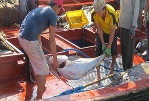 Phú Yên: Ngư dân trúng đậm cá ngừ đại dương