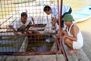 """Video: Nghề nuôi """"thủy quái"""" trên sông Gâm"""