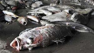 Nguyên nhân cá chết biển miền Trung: Cần nhiều cơ sở khoa học hơn để kết luận