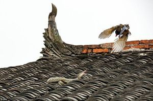 Cuộc chiến căng thẳng, kịch tính giữa chim chích chòe và rắn