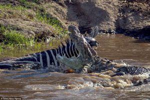 Ngựa vằn thoát chết thần kỳ khi bị con cá sấu đói tấn công