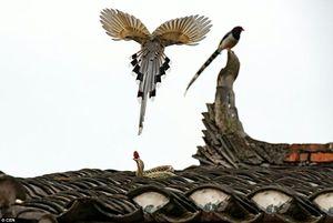 Màn so găng căng thẳng giữa rắn và chim chích chòe