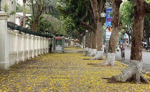 Hà Nội rực vàng mùa sấu thay lá