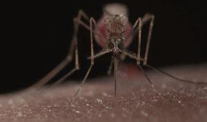 Con người tạo ra đội quân muỗi 'siêu sát thủ' để giết chính muỗi