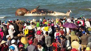 Kéo đưa xác cá voi khoảng 10 tấn lên bờ để tổ chức lễ an táng