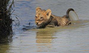Kịch tính cảnh sư tử mẹ cứu con thoát vũng lầy