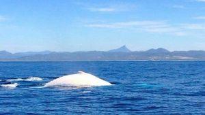 Cá voi trắng cực hiếm xuất hiện ở biển Australia